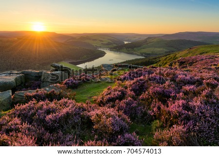 Vibrant heather being illuminated with golden light at Bamford Edge in the English Peak District. #704574013