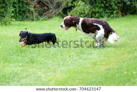 Two happy dogs playing together in outdoors. Funny dogs breed english springer spaniel and dachshund running on summer green grass #704623147