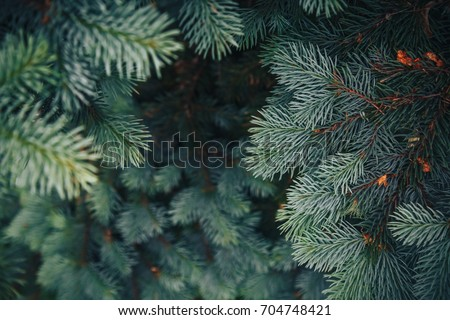 Fir tree brunch close up. Shallow focus. Fluffy fir tree brunch close up. Christmas wallpaper concept. Copy space. #704748421