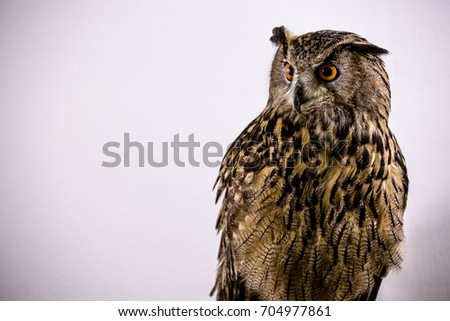 Eurasian Eagle-Owl, a species of eagle owl, standing Various gestures white background