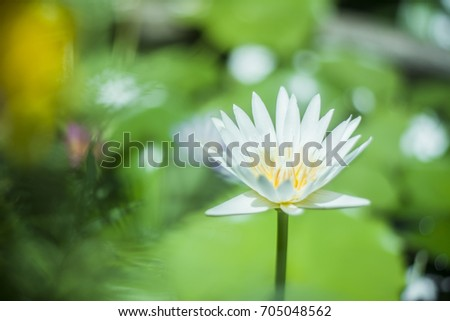White Lotus on the water in Thailand this Picture is Very Bright and Sharp Object with Beautiful Blur