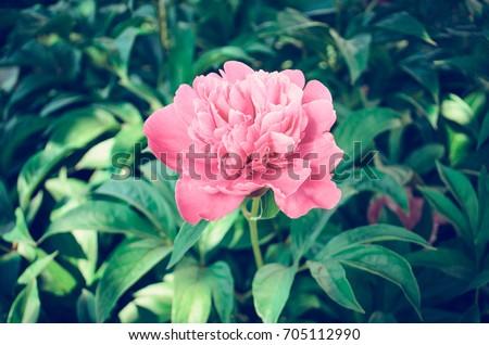 Red peonies in the garden. Red peony macro photo. Burgundy peony flower #705112990