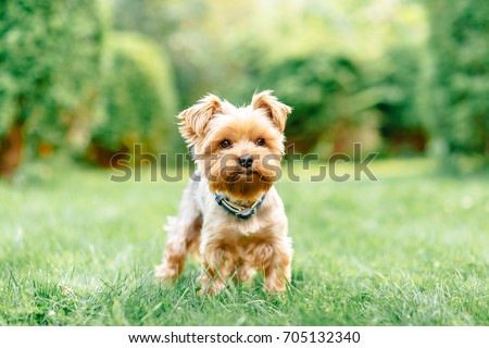 close up portrait of pretty sweet small little dog Yorkshire terrier in collar sitting outdoor dress on the spring sunny summer background #705132340