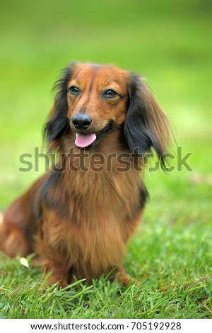 Dachshund on a background of green grass #705192928