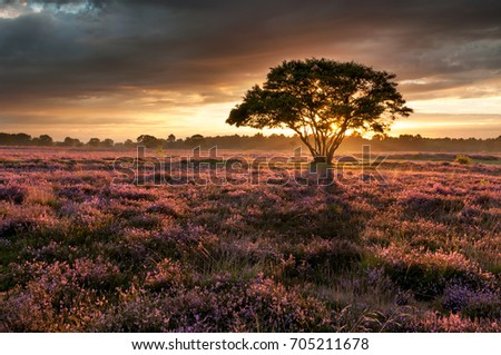 Heather in the Golden Light #705211678
