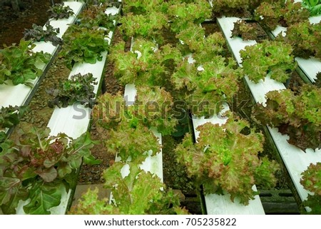 Vegetables grown in hydroponic systems, clean, safe. Tasty Perfect for healthy cooking is taken for weight loss, a farm from the country of Thailand #705235822