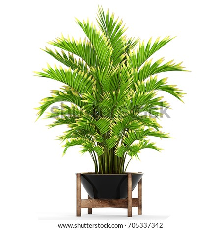 3D digital render of Howea forsteriana isolated on white background #705337342