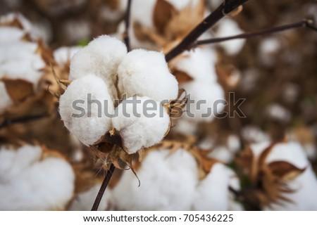 Closeup Open Defoliated Cotton Boll in Arizona Southwest Agriculture Field #705436225