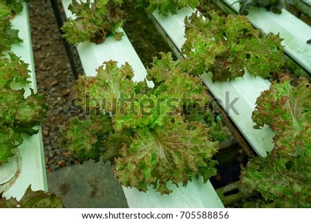 Vegetables grown in hydroponic systems, clean, safe. Tasty Perfect for healthy cooking is taken for weight loss, a farm from the country of Thailand #705588856
