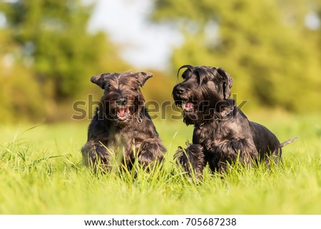 two standard schnauzer dogs are running on the meadow #705687238