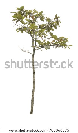 Isolated tree on white background. #705866575