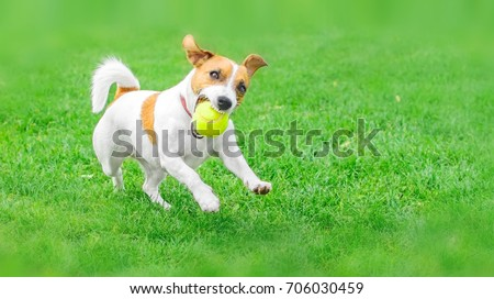 A frisky dog Jack Russell Terrier running with a yellow Tennis ball on green lawn outdoor at summer day. Copy-space left #706030459