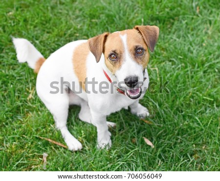 A cute happy purebred dog Jack Russell Terrier sitting on green lawn outdoor at summer day. A sweet doggy looking up #706056049