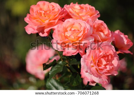 Pink roses in a garden in a summer day #706071268