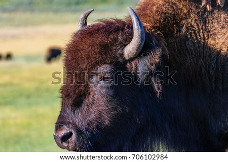 Closeup, portrait, profile of an American Bison. #706102984