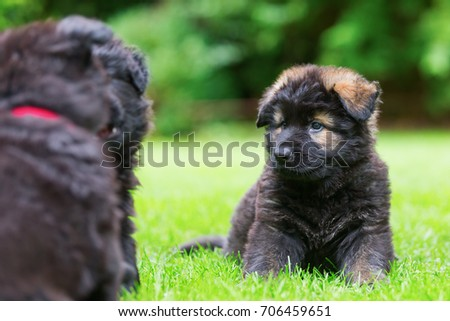 picture of old German Shepherd puppies who play on the lawn #706459651