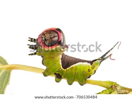 larva of The puss moth (Cerura vinula) isolated on white #706530484