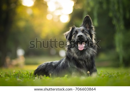 amazing portrait of young crossbreed dog (german shepherd) during sunset in grass Royalty-Free Stock Photo #706603864