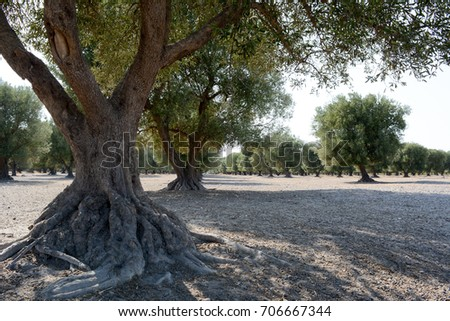 italian olive tree in counrtyside in autumn #706667344