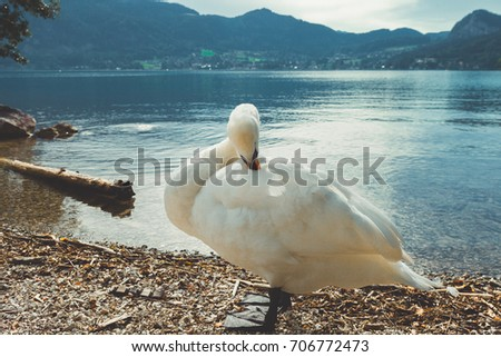 White swan on Lake Hallstatt and a scene of the Hallstatt village in Austria #706772473