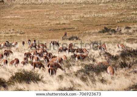 Group of Llamas near meadow Chile,south america. #706923673