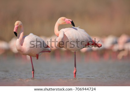 Pink big birds Greater Flamingos, Phoenicopterus ruber, in the water, Camargue, France. Flamingos cleaning feathers. Wildlife animal scene from nature. #706944724