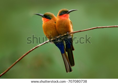 Red-throated bee-eater, Merops bulocki, Benin, Cameroon, Congo, Ethiopia, Gambia, Ghana. Detail of pair of exotic orange and red african birds with in nature habitat. Wildlife scene form nature. #707080738