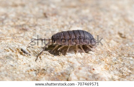 Close-up of the common woodlouse (Oniscus asellus) #707469571