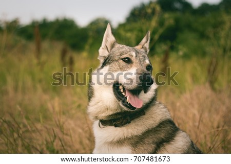 Pictures of grey wolf dog,russian hunting dog , west siberian laika posing in fields  #707481673