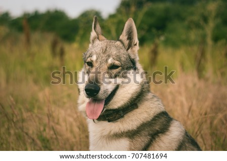 Pictures of grey wolf dog,russian hunting dog , west siberian laika posing in fields  #707481694