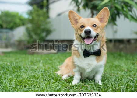 Corgi dog in a tuxedo collar