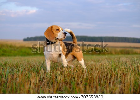 dog Beagle on a walk early in the morning at sunrise #707553880