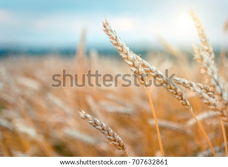 Wheat field. Gold ears wheat or rye. Complete grains close-up. Against the sky with the sun. The idea of a rich harvest. Label art design. vintage retro style. instagram filter #707632861