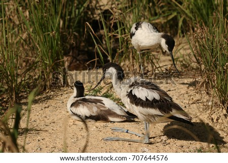 Pied avocets on a close up horizontal picture. Rare marsh bird species occurring in Europe in their natural habitat.