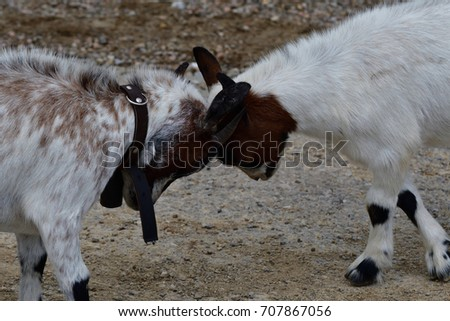 goats grazing the grass and fighting on the meadow #707867056