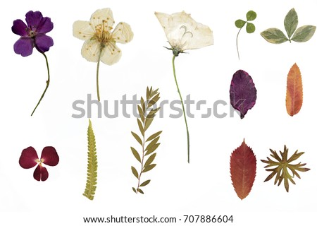 Dried flowers and herbarium isolated on a white background #707886604