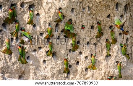 Big colony of the Bee-eaters in their burrows on a clay wall. Africa. Uganda. An excellent illustration. #707890939