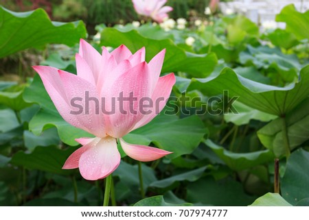 Pink lotus in pond with green leaf background #707974777