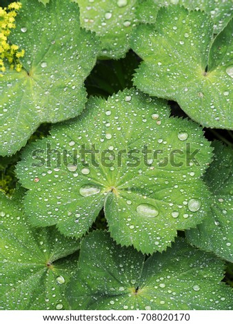 Alchemilla vulgaris, common lady's mantle, herbaceous perennial plant. Green background. Leaves with a wavy edge covered with droplets of dew #708020170