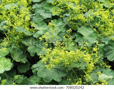 Alchemilla vulgaris, common lady's mantle, herbaceous perennial plant. Leaves with a wavy edge covered with droplets of dew. Small yellow-green flowers. Green background #708020242