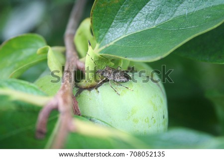 Marmorated stink bug or known as Halyomorpha halys on a persimmon fruit
