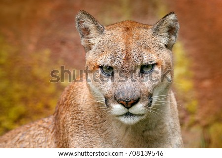 Danger Cougar sitting in the green forest. Big wild cat in nature habitat. Puma concolor, known as mountain lion, Mexico. Wildlife scene from nature.