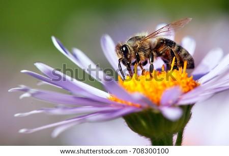 detail of honeybee in Latin Apis Mellifera, european or western honey bee sitting on the violet or blue flower #708300100