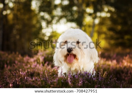 havanese dog in nature portrait #708427951