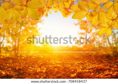 Autumn leaves on the sun and blurred trees . Fall background. #708458437