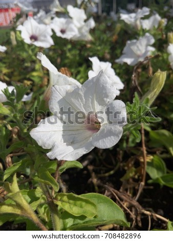 Large flowerbed. White and round petals. Green leaves. #708482896