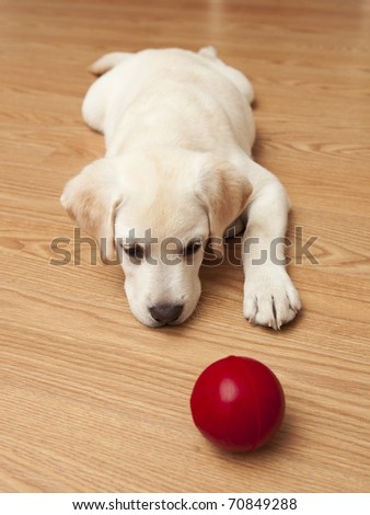 Labrador retriever puppy lying on the floor and playing with a red ball #70849288