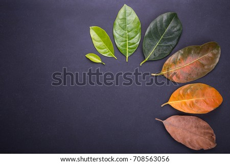 Different color and age of leaves of the jackfruit tree leaves from fresh green to dry brown on black stone background. For environment changed concept. Top view #708563056