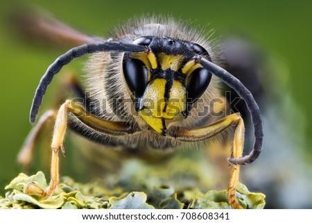 European Hornet, Hornet, Wasp