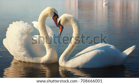 Two white swans. This is Love. #708666001